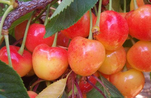 Cherrycloseup